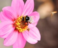 Bees in flower 200px